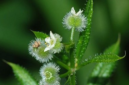 curar sistema linfático plantas